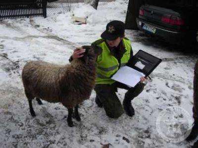 Warszawska Owca