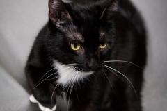 czarno-bialy-kot-do-adopcji-banshee