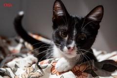 czarno-bialy-kot-do-adopcji-otis