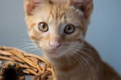 rudy-kot-do-adopcji-Colin